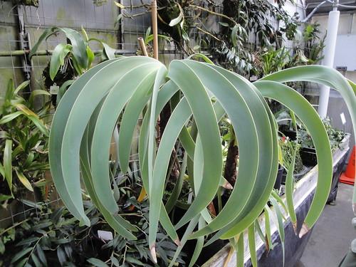 Worsleya procera plants