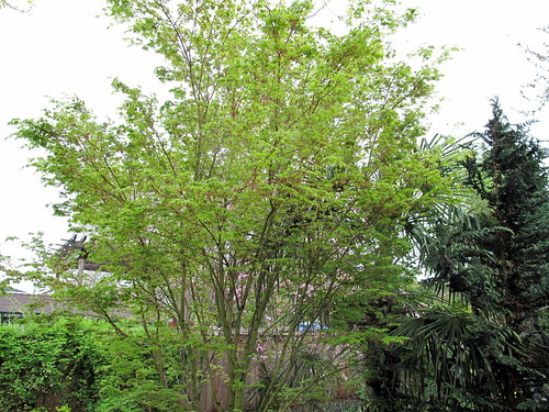 acer palmatum 'sango kauku'