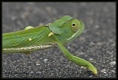 Common Flap-necked Chameleon (Chamaeleo dilepsis) adult (Johann du Preez) Tags: southafrica chameleon krugernationalpark sanparks jomur flapnecked chamaeleo dilepsis chamaeleodilepsis