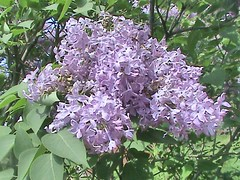 Lilac Blooms In Montreal 004 (Chrisser) Tags: flowers canada nature garden spring quebec gardening montreal fourseasons closeups shrubs lilacs flowerfactory oleaceae syringia sonydcrsr62 sonyphotographing sonyphotosallday