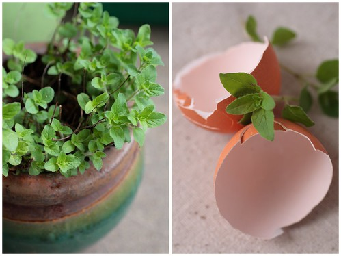 Oregano and egg shells