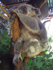 Nice and Comfy (End of Level Boss) Tags: australia lazy koala nsw lou newsouthwales marsupial 2010  coala koalapark    koaala     koal      hayopngkoala  gingaithucchu