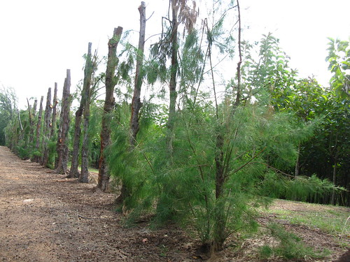 Casuarina, in the hardwood plantation