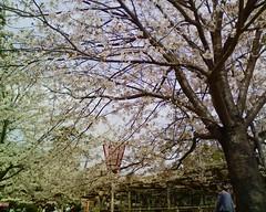 松阪城で桜の花見 #matsuska