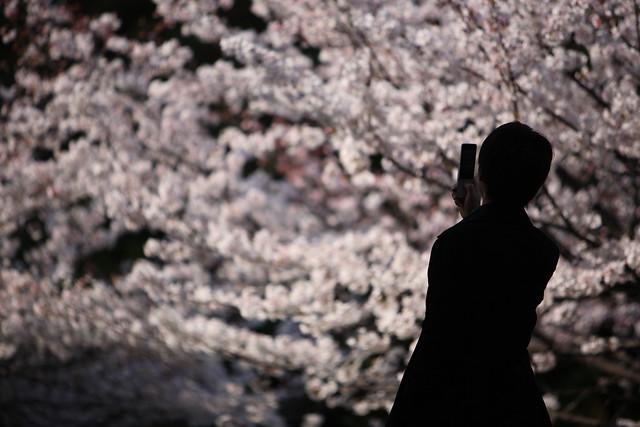 陽の当たる桜花