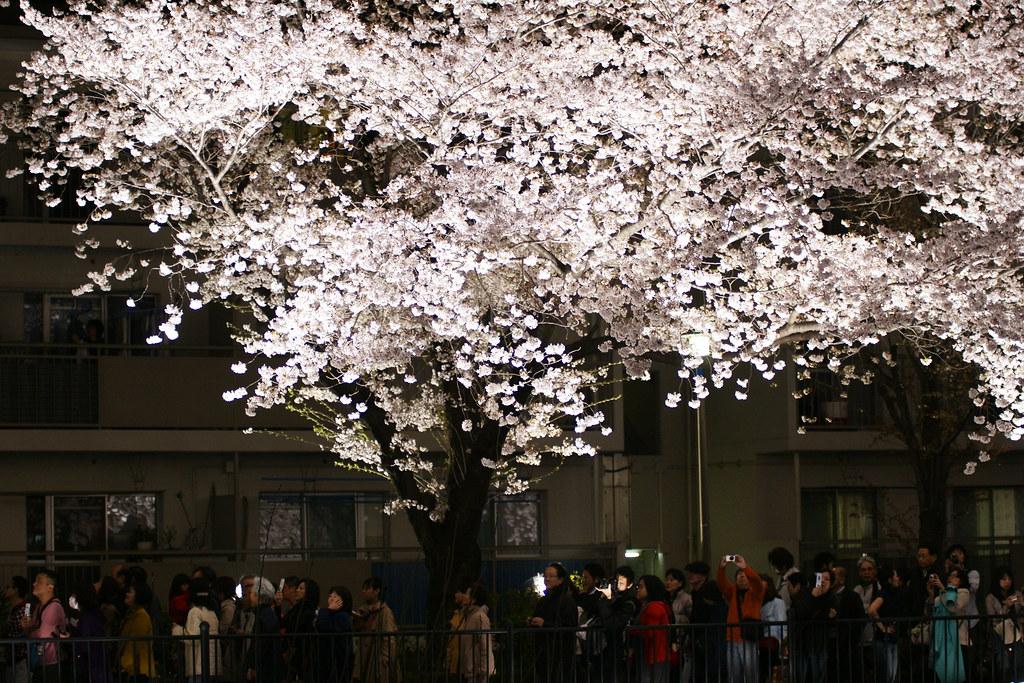 2010野川桜ライトアップ 7