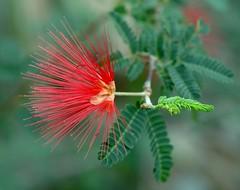 Feather Duster   3292 (Mr. Physics) Tags: red plant flower macro nature flora pair naturesfinest blueribbonwinner 3ofakind supershot msoller 2pair impressedbeauty
