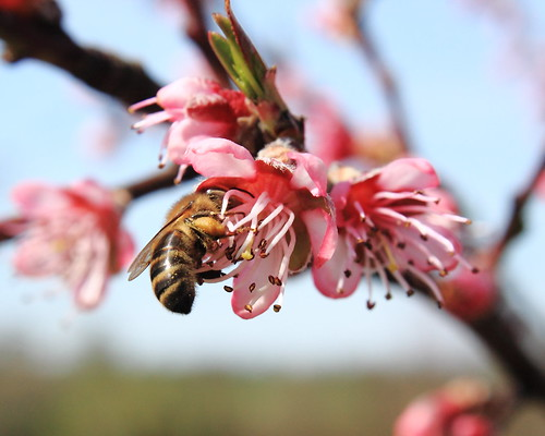 Honey bee with pollen baskets full on peach blossom