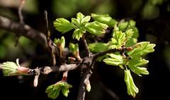 Ahorn / maple (acer) (HEN-Magonza) Tags: trees nature maple flora natur acer bäume frühling ahorn botanischergartenmainz