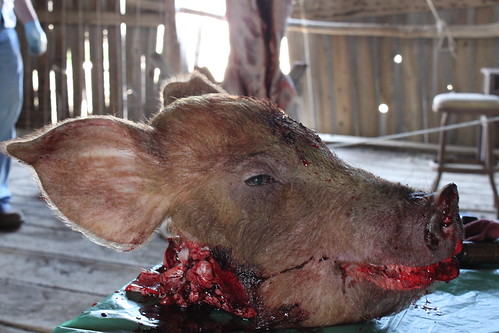 pigs head and slaughtered body