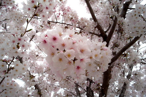 Cherry blossoms in full bloom 1