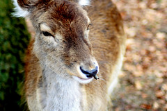 Oh Deer (mind the goat) Tags: park eye animal fur nose deer roedeer newforest tame wilflife