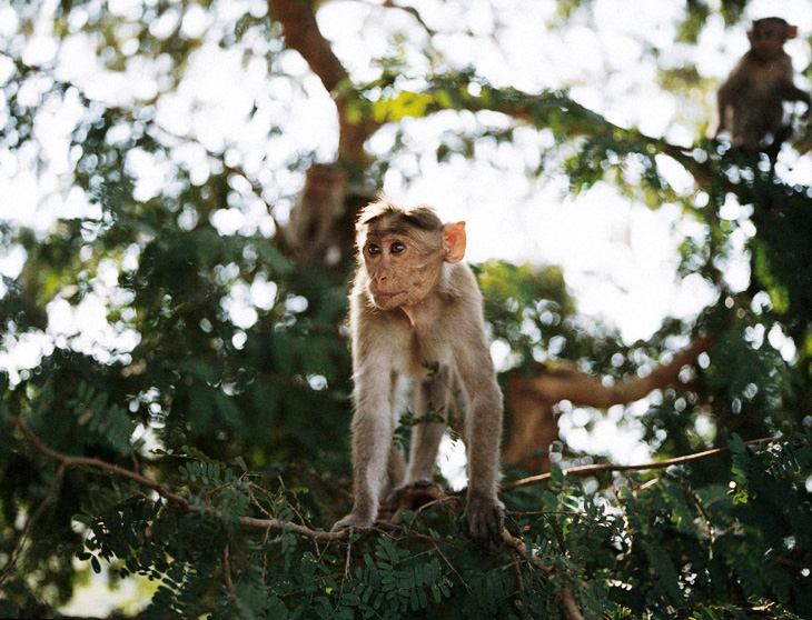 tiny indian monkey thing