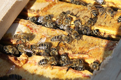 Bienen auf Warré by blumenbiene, on Flickr