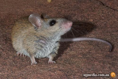 Common rock-rat (Zyzomys argurus)