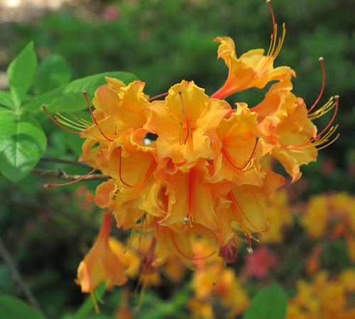 apricot azaleas on a limb