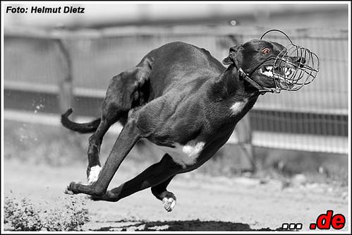 Greyhound Lola