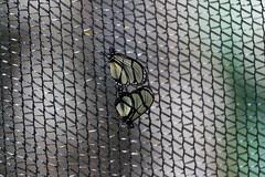 baudchon-baluchon-mindo-papillons-28