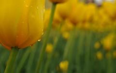 Tulips 7 (12Jeepgirl~Never look back...) Tags: flower photoshop garden nikon midwest bokeh 28mm sigma iowa adobe tulip tuliptime lightroom pella d300 cs4