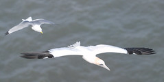 Gannet  chased by a Kittiwake (keithhull) Tags: action flight seabirds gannet eastyorkshire rspb kittiwake bempton sooc