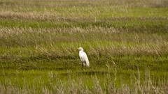 "Common Egret • <a style=""font-size:0.8em;"" href=""http://www.flickr.com/photos/30765416@N06/4557998544/"" target=""_blank"">View on Flickr</a>"