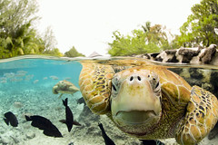 Bora_Bora.jpg (heute hier) Tags: travel fish tourism animals swimming polynesia underwater turtle reptile wildlife nobody recreation omg seaturtle naturalworld territories waterline frontview greenturtle ecotourism pacificislands frenchpolynesia animalgroupings smallgroupofanimals