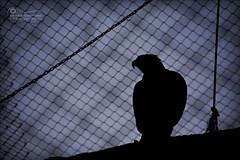 Eagle, I.. (SonOfJordan) Tags: sunset sky blur silhouette canon fence eos eagle bokeh amman cage depthoffield chain jordan hero perched concept elegant conceptual captive goldeneagle captivity xsi 450d samawi sonofjordan wwwshadisamawicom