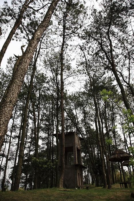 花园里的松树林