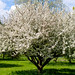 Photo: Apple tree