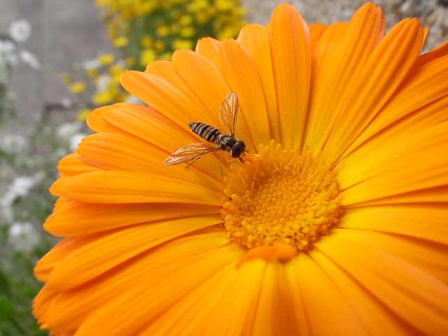 A syrphid fly on gerbera