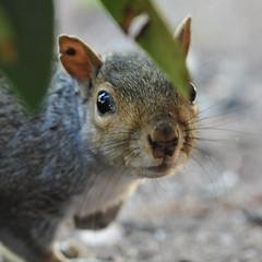 Can I borrow a Q-tip? (Vox Sciurorum) Tags: squirrel ear stare tick tamron180 squirrel2010g