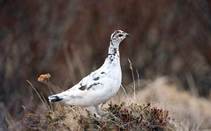 Rjúpa (Lagopus mutus) (Þorgils Sig.) Tags: birdwatcher coth bestofthebirds wingedwonders impressedbeauty cherryontopphotography vosplusbellesphotos