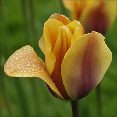 Tulip in the rain (Foto Martien) Tags: flower holland macro netherlands dutch bulb garden leiden nederland vess
