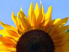 ...feel the sun... (janoid) Tags: sky love sunshine heart joy sunflower excellence imissthemtoo xoxoxoxox hewillbemissed frommyarchives rememberingourdearfriendhorst seeingflowersintheskywillforeverremindmeofhim buthewillalwaysberememberedwiththejoyhesharedwitheveryoneheknew thisvibrantsunflowerisinhonorofhim ohjanyougiveyourbabiesasatributetohorstyourloveofbeautifulsunflowersshowsjusthowmuchyoucaredabouthorsthewillbemissed hisloveofcolorlightandbeautyhavetouchedallofuswhoareluckyenoughtohaveseenhisincrediblycreativeimages andtohavefelthisradiantfriendshipandkindness feelthesunfrombothsides thisisoneofmybabies