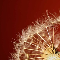 Dandelion - Ready for take-off (FP) (Osthollnder) Tags: red macro rot primavera canon germany geotagged deutschland spring europa europe bokeh dandelion explore makro frontpage printemps rheinland 2010 frhling alfter pusteblume taraxum challengeyouwinner fotocompetition|fotocompetitionbronze