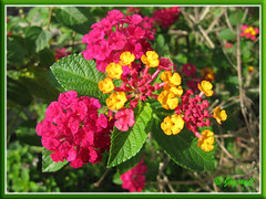 Lantana camara 'Carlos' with fuchsia and yellow flowers