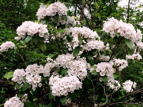 Mountain laurel - Kalmia latifolia