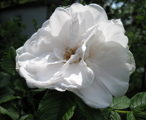 "Rosa rugosa ""Blanc Double de Coubert"""