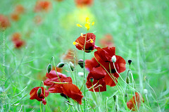 "Red beauty (Carlo ""Granchius"" Bonini) Tags: red italy nikon country campagna poppies umbria papaveri d300 naturesfinest carlobonini granchius"