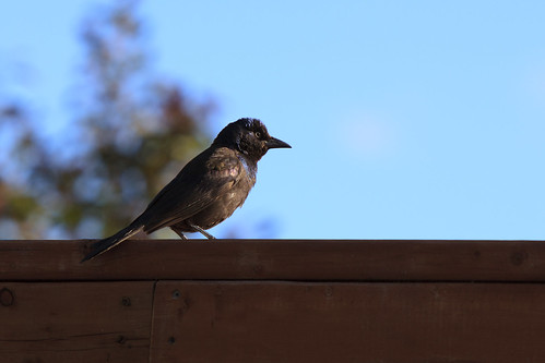 Windy Grackle