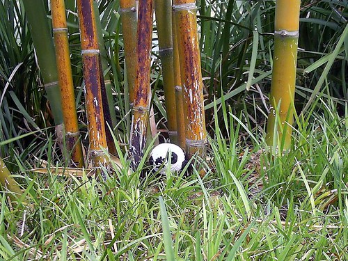 Pandagoma in the Wilds of Burbank!