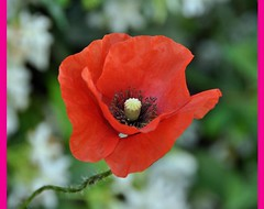 THE POPPY (pasere) Tags: travel family flowers red sky italy flores flower macro nature nikon europa europe italia tour flor sicily fiori 1001nights fiore rosso catania trinacria ortobotanico papavero d90 geotagget sicili abigfave estremit pasere ilfioredelpartigiano nikonflickraward flickraward paseresphotostream sicilianelmondo sicilianinelmondo