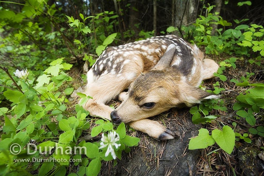 newborn mule deer fawn (Odocoileus hemionus)