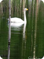 swan (Elsa Kurppa) Tags: bird water swan playingcard 2010 fgel lintu saimaa svan cygnus joutsen   elsakurppa