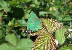 Green Hairstreak Butterfly (stevedb10) Tags: uk england butterfly solent iow greenhairstreak totlandbay turfwalk