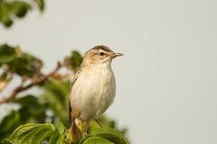 (freek.wijffels) Tags: detail tree bird nature birds canon beak feather sigma apo sharp 400 pro tele 300 leafs warbler watcher sedge kenko sedgewarbler 14tc hsm pro300 40056 1000d