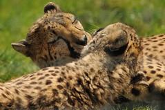Two Cheetahs Washing Each Other (Ami 211) Tags: bigcat cheetah bigcats acinonyxjubatus felidae acinonyx felinae animalsinteracting