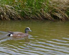 35P1010309 (cj berry) Tags: canada bird water creek swimming river duck pond profile shore alberta grasses waterfowl americanwigeon airdrie baldpate bluebill bluebeak whitecrown