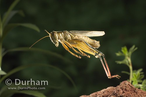 Jumping grasshopper