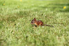 Small squirrel on grass (Aspiriini) Tags: canon suomi finland squirrel orava sciurusvulgaris jonilehto aspiriini
